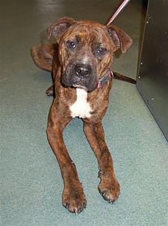 Maggie Mae Boxer Adult Female for Sale in Raleigh, North