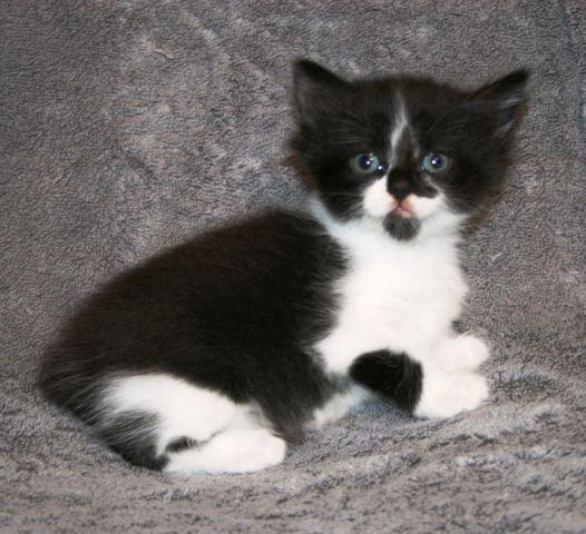 Available Manx Kittens For Sale & Cats For Adoption - Page 3