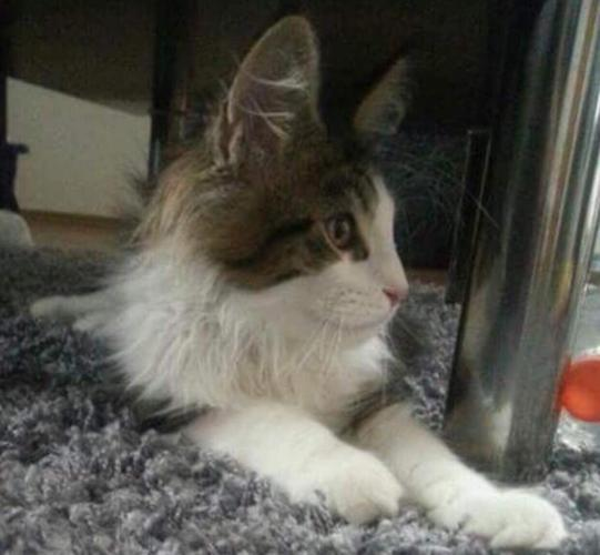 Maine Coon For Sale In Modesto California Classified Americanlisted Com