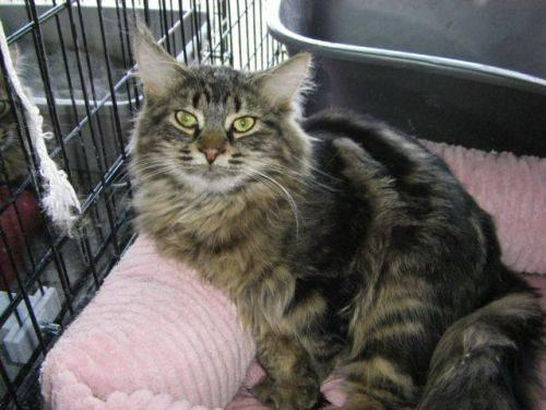 Maine Coon Bb Adopted Large Young Male Cat For Sale In Drummond Island Michigan