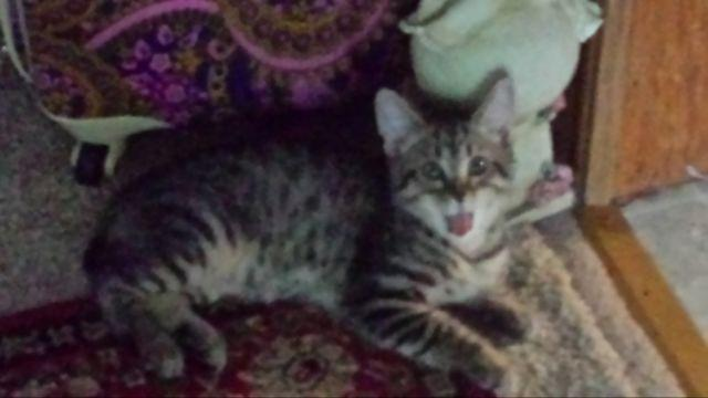 Maine Coon, Maine Coon Kittens, Maine Coon Rescue, Maine Coon Personality, Maine  Coon Kittens For Sale, Maine Coon Breeders, Maine Coon Adoptions, ...