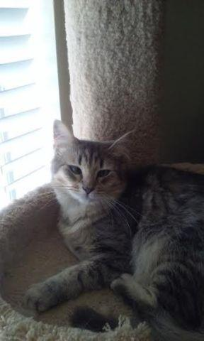 Maine Coon Kittens For Sale Seattle Maine coon cat for Sal...
