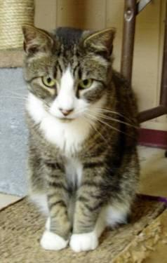 Maine Coon - Cosmo - Large - Adult - Male - Cat for Sale ...