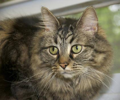 Maine Coon Fancy Large Adult Female Cat For Sale