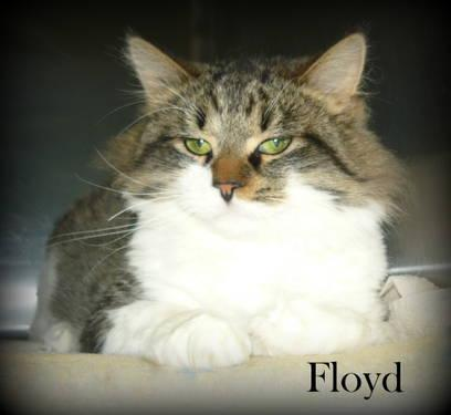 Maine Coon Floyd Medium Young Male Cat For Sale In Lincoln Michigan Classified