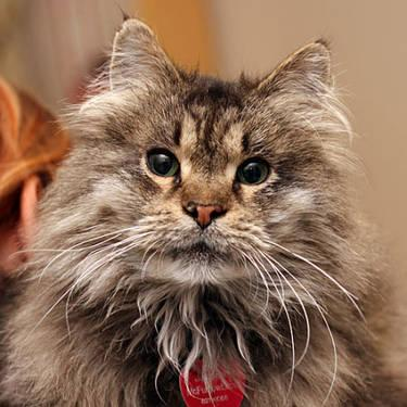 Maine Coon Jaspurr Large Adult Male Cat For Sale In Grand Rapids Michigan Classified