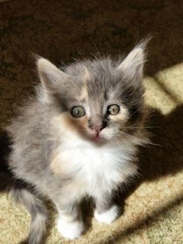 Maine Coon Kitten for Sale in Pisgah Forest, North Carolina