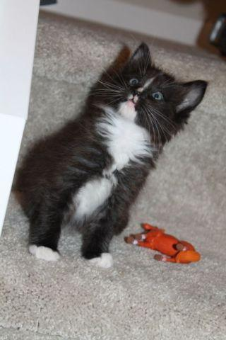Maine Coon Kittens For Sale Seattle Maine Coon Kitt...