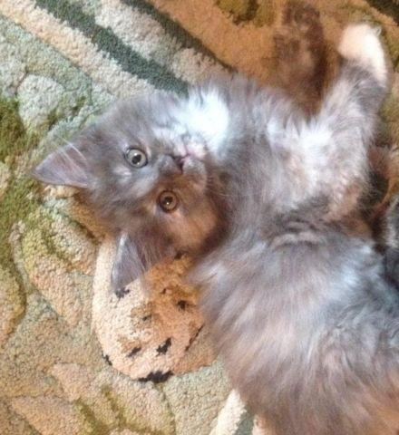 Maine Coon Kitten For Sale In Columbus Ohio Classified Americanlisted Com
