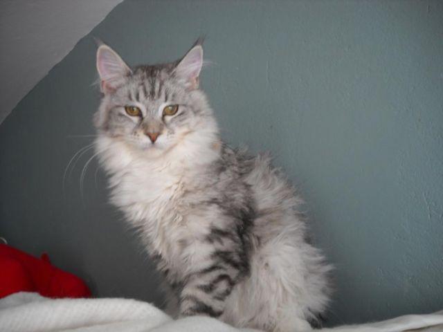 maine coon kitten Silver Mackerel stunning
