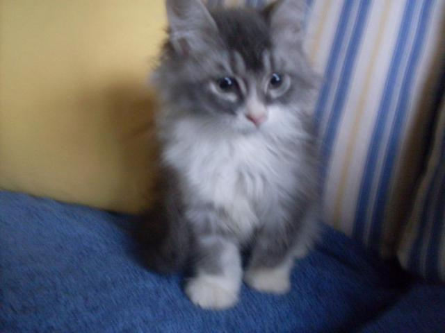 Maine coon kittens 11 weeks old for Sale in Wareham ...