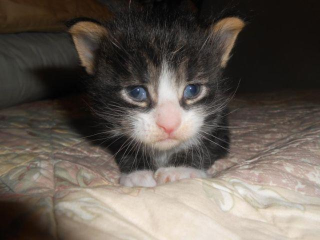 Maine Coon kittens 3 weeks old for Sale in Wareham ...