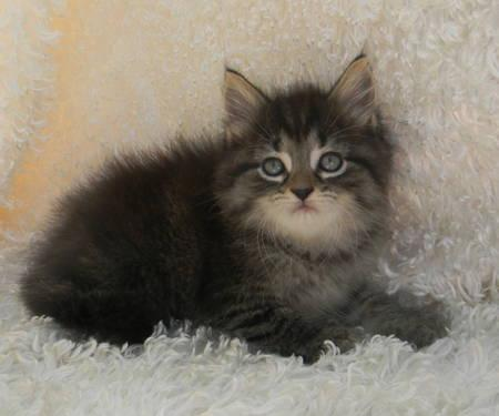 Maine coon kittens for sale in medina ohio