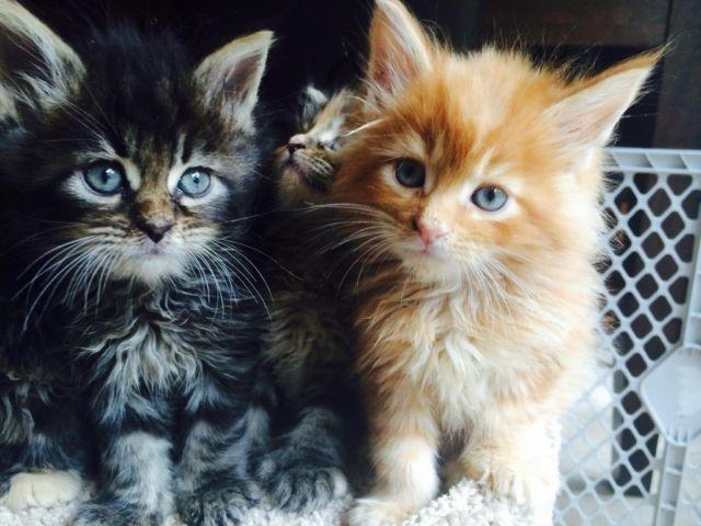 Maine Coon Kittens For Sale In Galena Illinois Classified Americanlisted Com