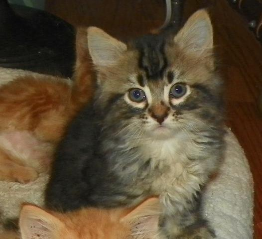 Maine Coon Kittens for Sale in Brush, Colorado Classified