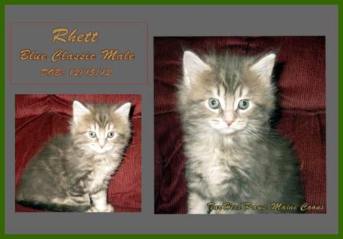 Maine Coon kittens, CFA registered litter, 2 females 1