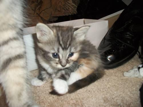 Maine Coon Kittens Easley Sc For Sale In Easley South Carolina Classified Americanlisted Com