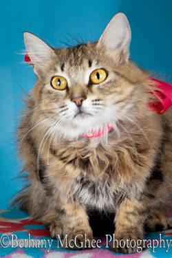 Maine Coon - Linko - Small - Adult - Female - Cat