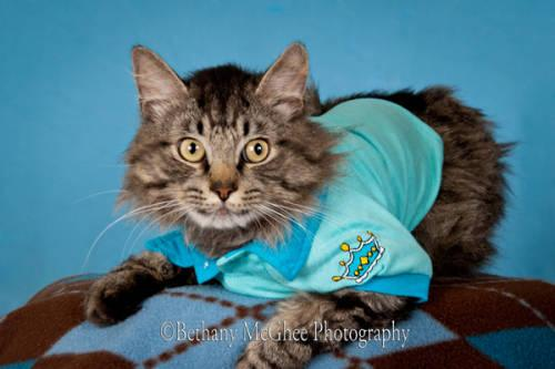 Maine Coon - Mainecoon Mix Cats/kittens - Extra Large -