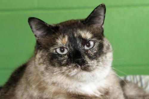 Cats For Sale Adoption In Arkansas