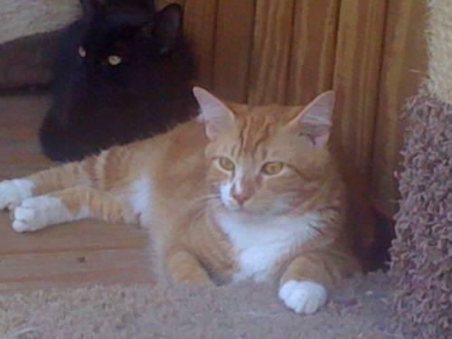 Maine Coon Ollie Extra Large Adult Male Cat For Sale In Columbia North Carolina