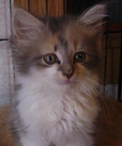 maine coonragdollsiamese mixes for sale in amity north