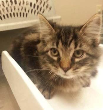 Maine Coon - Ruby Kitten - Large - Baby - Female - Cat