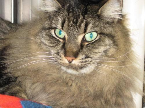 Maine Coon - Shadow - Extra Large - Adult - Female - Cat ...