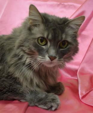 Maine Coon - Smokey - Medium - Senior - Female - Cat
