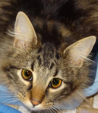 Maine Coon Thor Large Young Male Cat For Sale In
