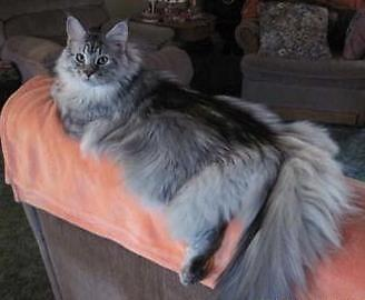 Maine Coon Kittens For Sale Seattle Mainecoon blue-...