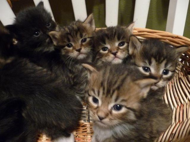 Maine Coon Kittens For Sale Seattle Mainecoon Kittens (mal...