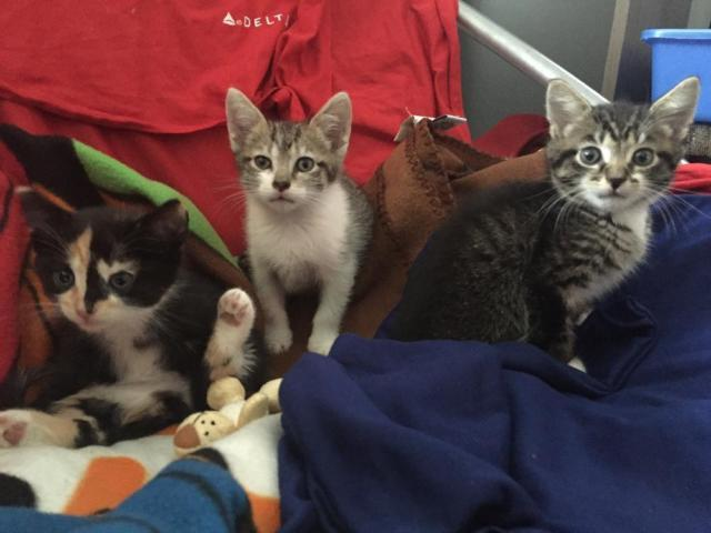 MaineCoon kittens need a forever home for Sale in Bronx, New
