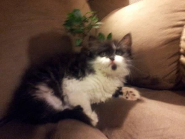 Maine Coon Kittens For Sale Seattle Mainecoon kitties fluf...