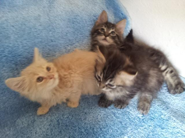 Maine Coon Kittens For Sale Seattle Mainecoon's for Sale i...