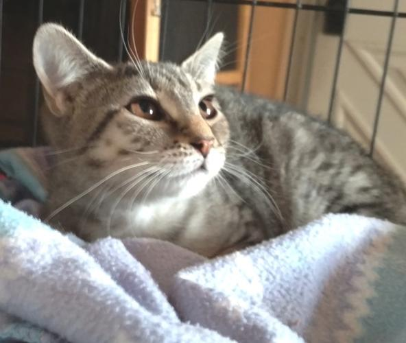 Maizy -Adoption Pending! Domestic Short Hair Baby -