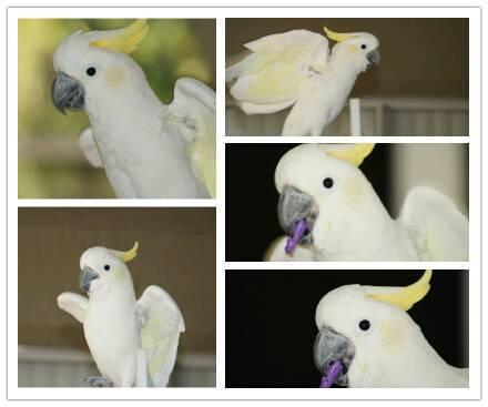 Make Goffins Cockatoo with LARGE cage
