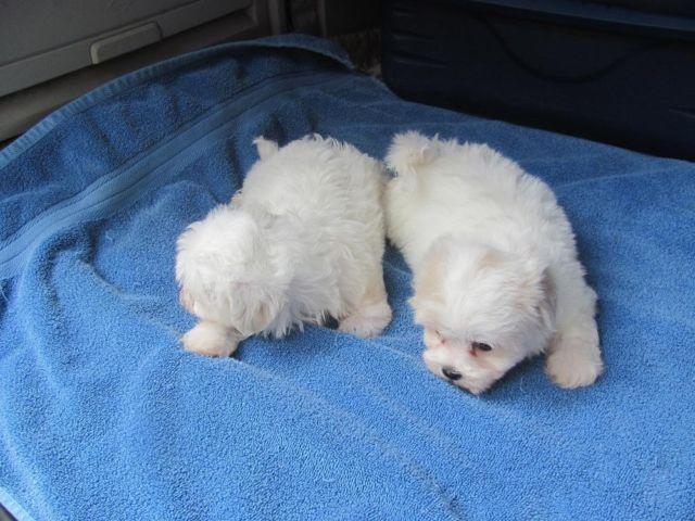 Mal Shi Maltese X Shih Tzu Puppies For Sale In Jacksonville