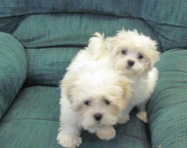 Mal Shi Maltese X Shih Tzu Puppies Ckc For Sale In Jacksonville