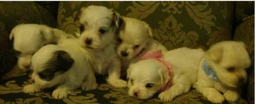MalChi puppies hypoallergeninc! Only 3 left!