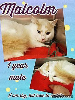 Malcolm Turkish Angora Adult Male