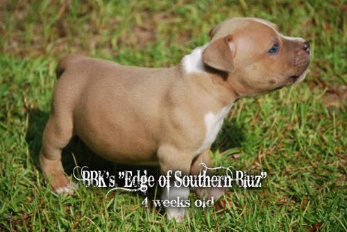 Male #2*****SOLD***** American Pit bull