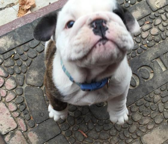 english bulldog puppy for sale in indiana male akc english bulldog puppy for sale in fort wayne 8055