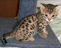 MALE AND FEMALE BENGAL KITTENS READY NOW