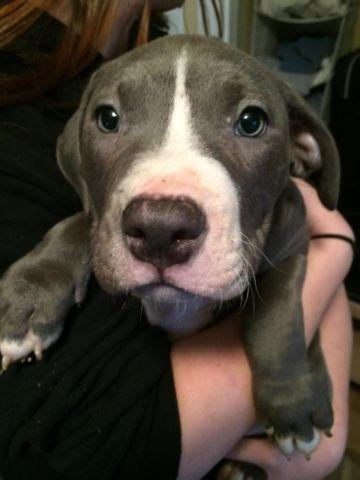 Male and Female Blue Nose Pitbull Puppies for sale - 8 ...