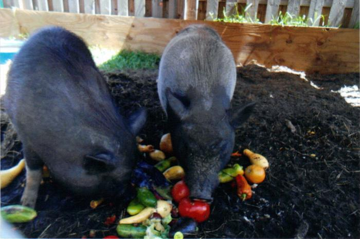 Male and female pot belly pigs