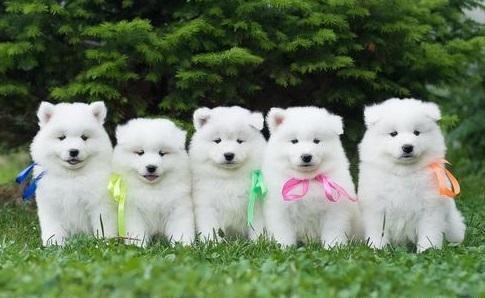 Samoyed For Sale >> For Sale In Pinetown North Carolina Classifieds Buy And Sell