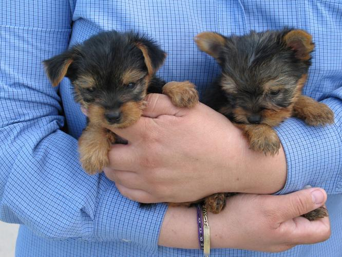 Male And Female Teacup Yorkie Puppies For Re-homing