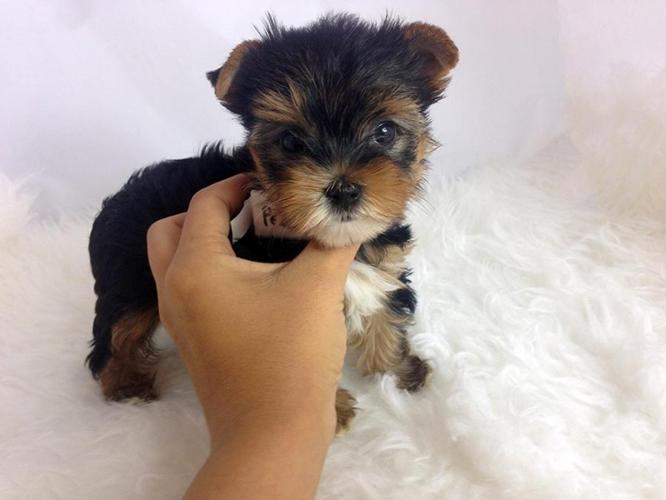 yorkie puppies for sale in philadelphia male and female teacup yorkies for adoption for sale in 7064