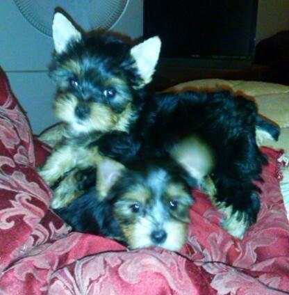 male and female yorkie puppies, current health cert.